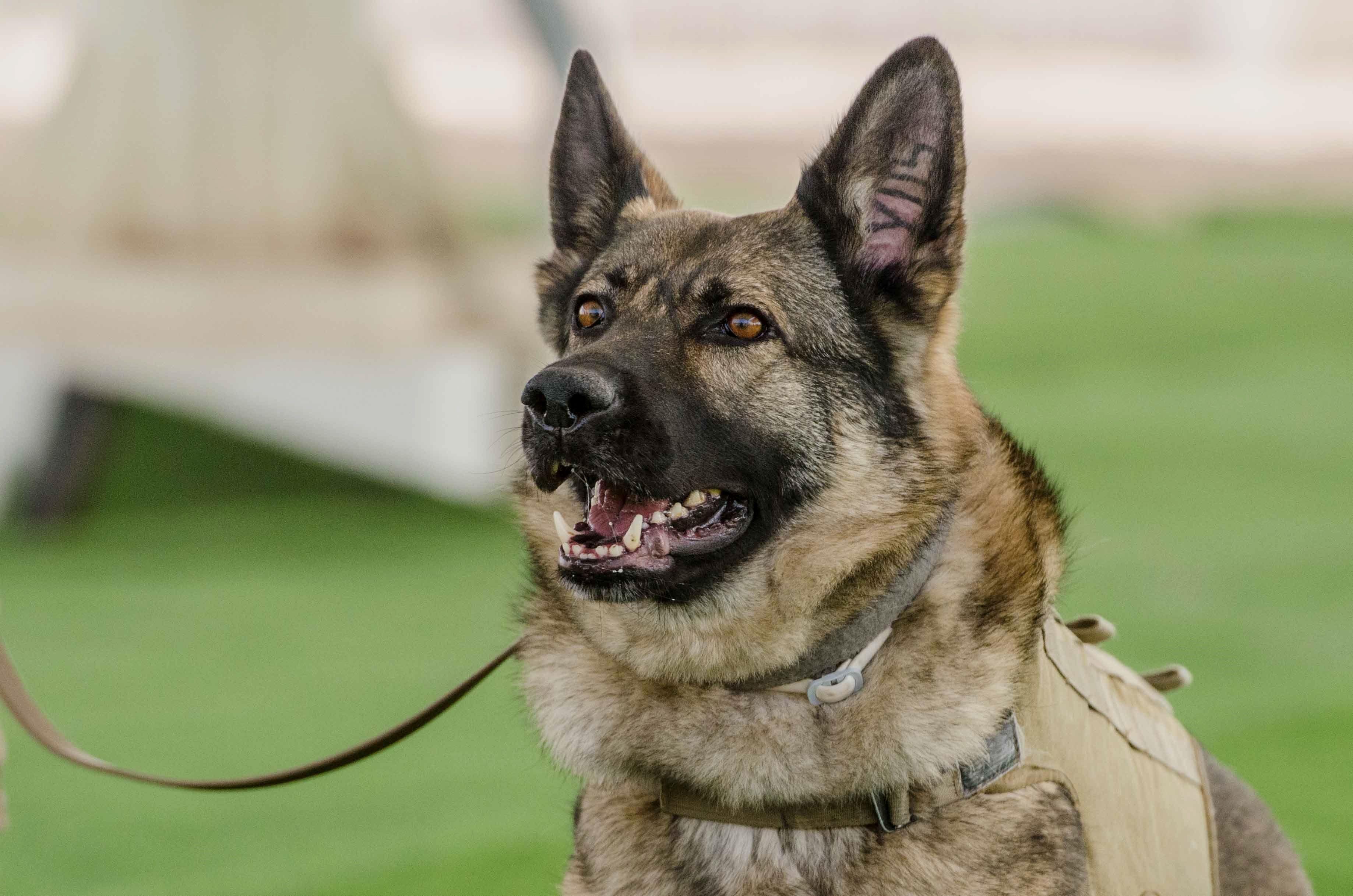 Dogs German Shepherd Dogs Breeds