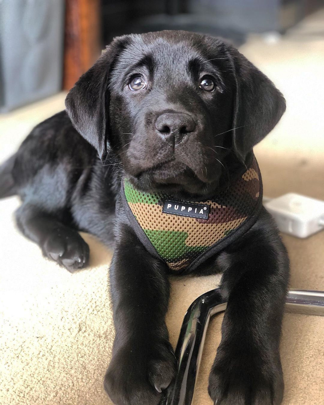 Black Lab Puppy If You Love Labradors Visit Our Blog Labrador Labradorretriever Labradorcentral Ret In 2020 Lab Puppies Labrador Retriever Black Lab Puppies
