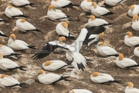 Gannet Landing At Nesting Colony Stock Photo, Picture And Royalty Free Image. Image 23772891.