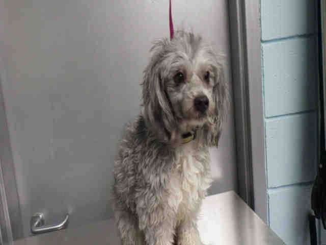 OPCA Shelter Network Alliance · ~ Animal ID #A047895 Santa Monica Animal Shelter ‒ I am a Male, Gray & White Miniature Poodle mix. The shelter does not know how old I am. Santa Monica Animal Shelter ‒ (310) 450-6179 1640 9th Street Santa Monica, CA https://www.facebook.com/OPCA.Shelter.Network.Alliance/photos/pb.481296865284684.-2207520000.1422358605./766336696780698/?type=3&theater