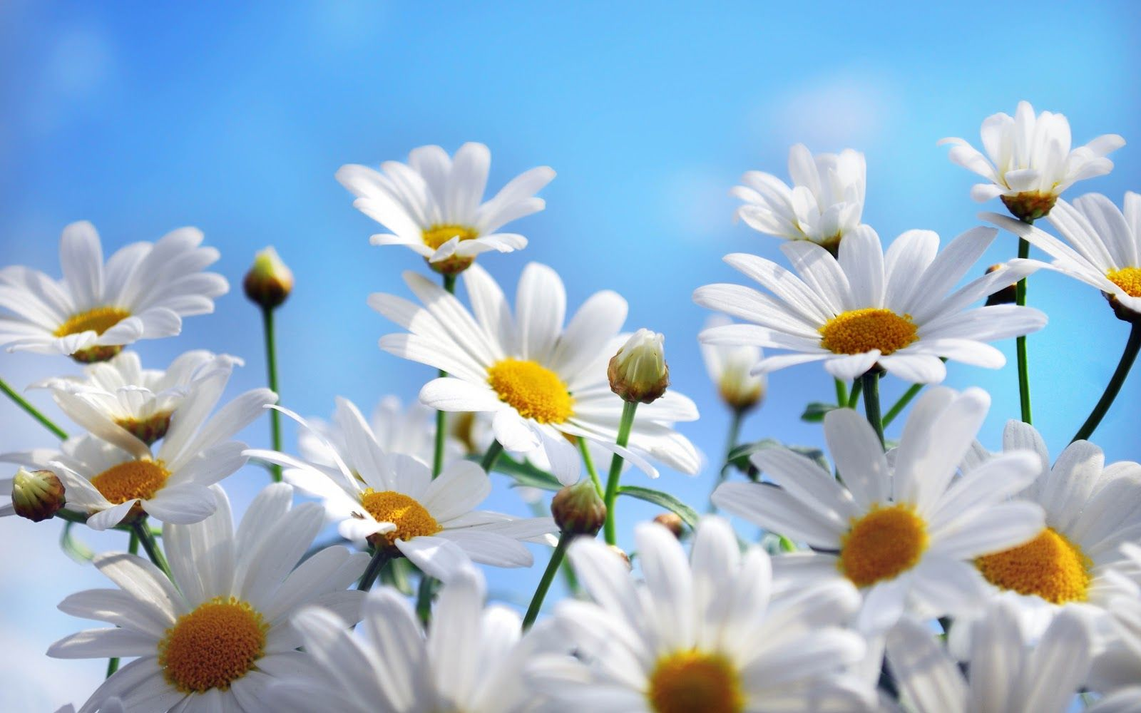 20 خلفية زهور رائعة عالية الدقة مجانا Daisy wallpaper