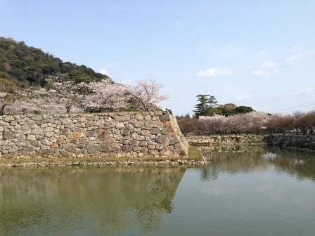cherry trees in full bloom@Hagi Castle Ruins