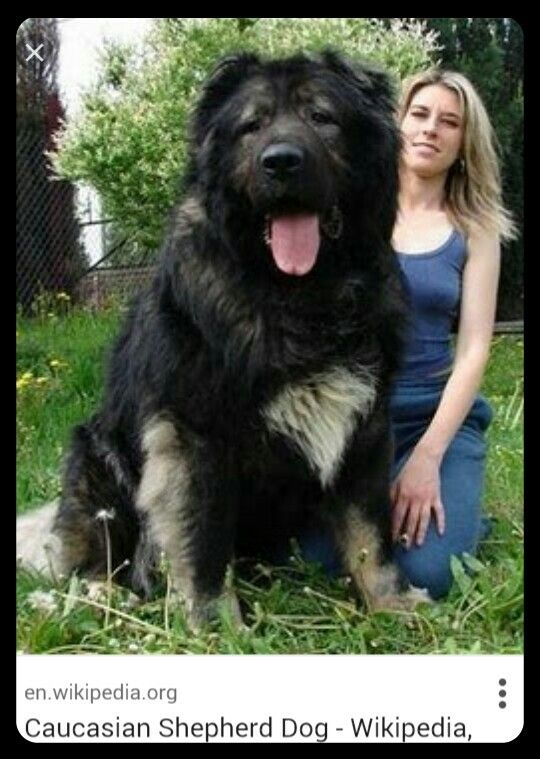 Caucasian Shepherd Russian Bear Dog W Human For Size