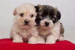 Victoria Dogs Puppies Gumtree Australia Free Local
