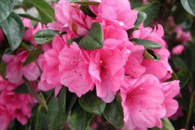 Azalea Pride Of Dorking Etsy In 2020 Early Spring Flowers Flower Farmer Azaleas