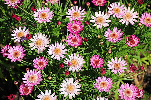 Argyranthemum Is Often Mistaken As Chrysanthemum They Are Widely Sold As Garden Plants And Produce Prolif Flower Pictures Flowers Bloom Where You Are Planted
