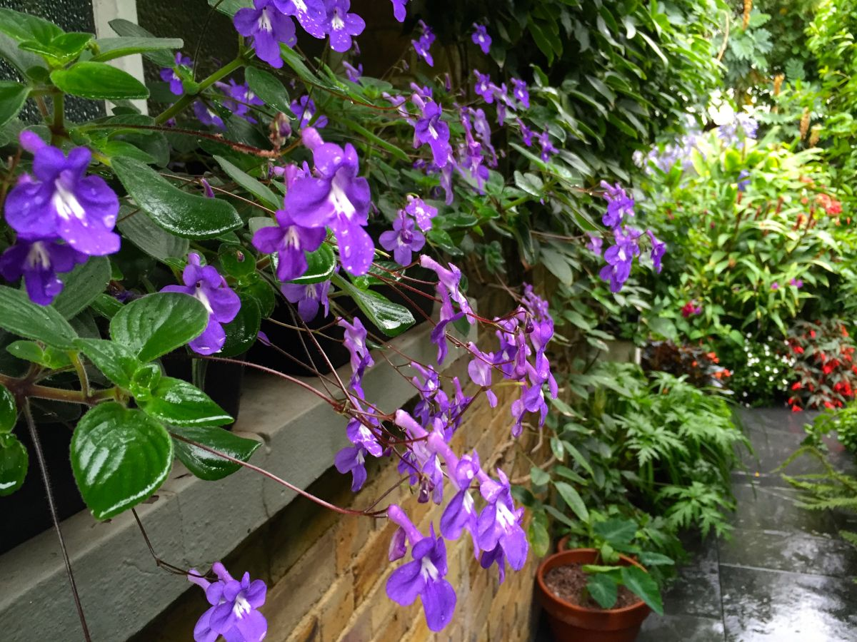 Daily Flower Candy Streptocarpus Saxorum In