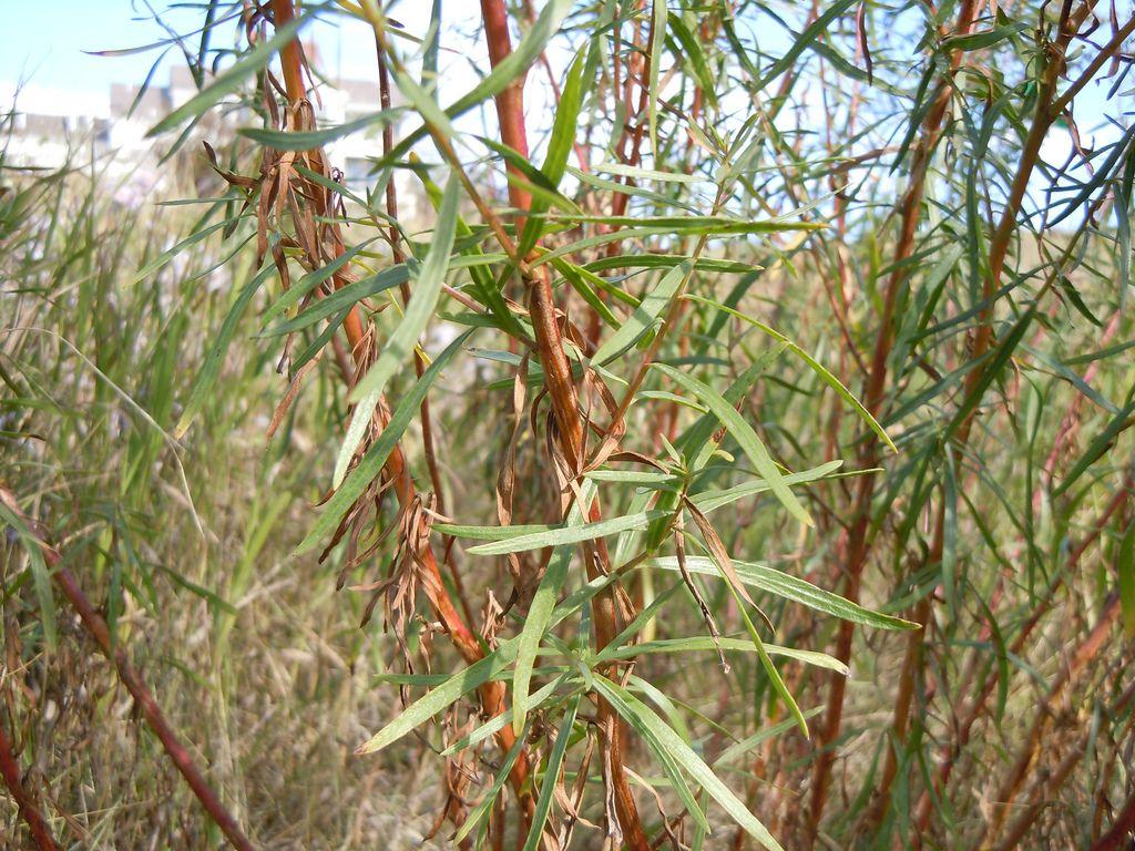 Estragão (Artemísia dracunculus): Descrição, Cultivo, Uso Culinário