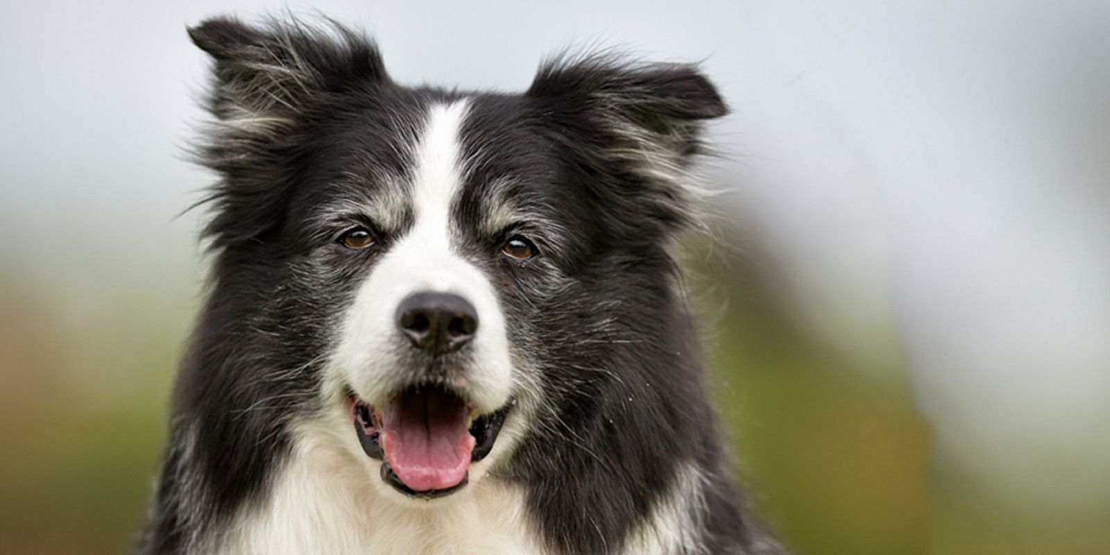 Border Collie Age Well Dog Aromatherapy Border Collie Border