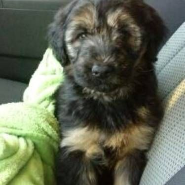 Shepadoodle I Want Poodle Mix Puppies Puppies German