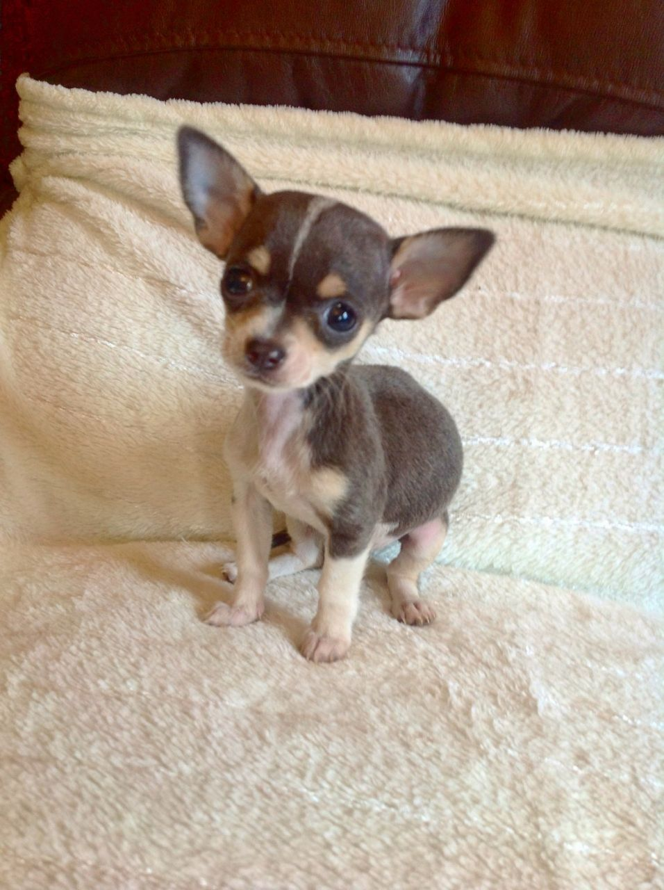 Micro Tiny Tiny Blue And White Chihuahua Girl Cute Chihuahua