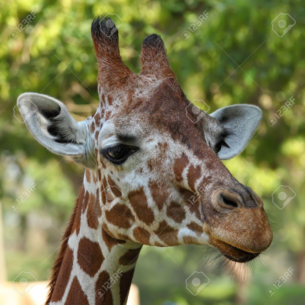 giraffe eating leaves 20166201 jpg 400 266 pixels giraffes