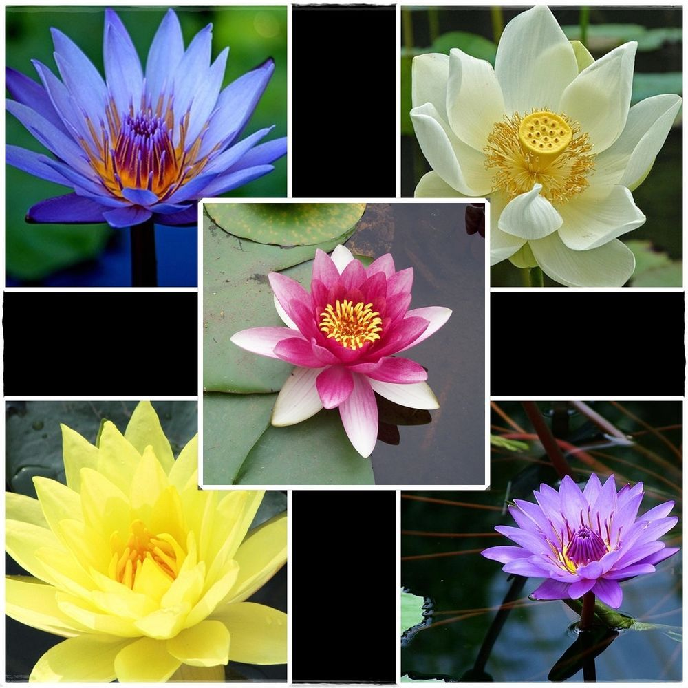 Details about 30 seeds 5 color bowl lotus flower seed water aquatic details about 30 seeds 5 color bowl lotus flower seed water aquatic plants fast shipping izmirmasajfo Choice Image