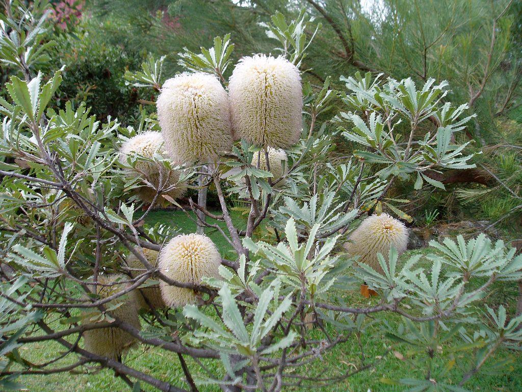 Banksia Baueri Or Woolly Banksia Australian Native Flowers Australian Native Plants African Plants