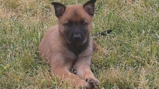 Litter Of 9 Belgian Malinois Puppies For Sale In Gerber Ca Adn