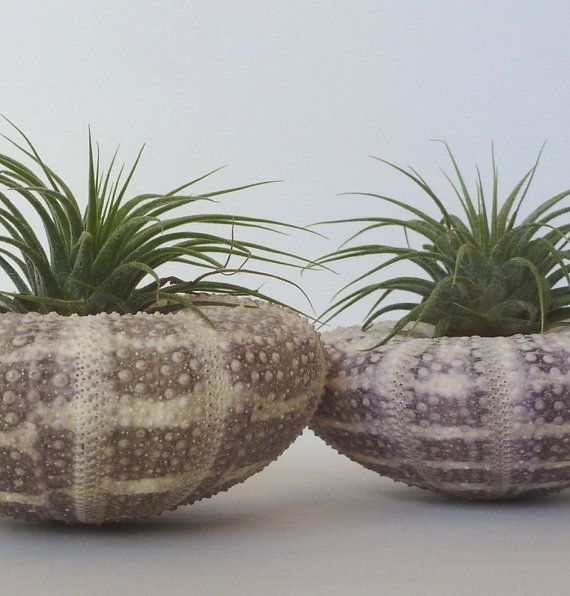 Air plant love floats in large urchin shells  made by RootsinRust, $27.00
