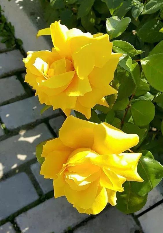 خلفيات ورود جميلة جدا 2019 اجمل صور ورد في العالم 2020 فوتوجرافر Beautiful Flowers Amazing Flowers Flowers