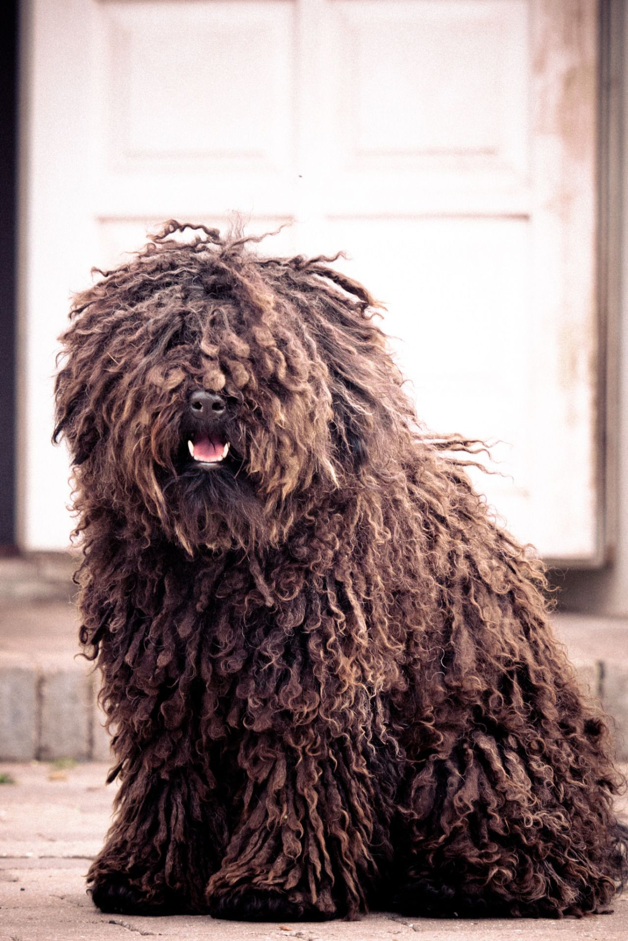 Handsomedogs Severin Messenbrink Hungarian Puli The Dog Has Got More Fun Out Of Man Than For Is Laughable