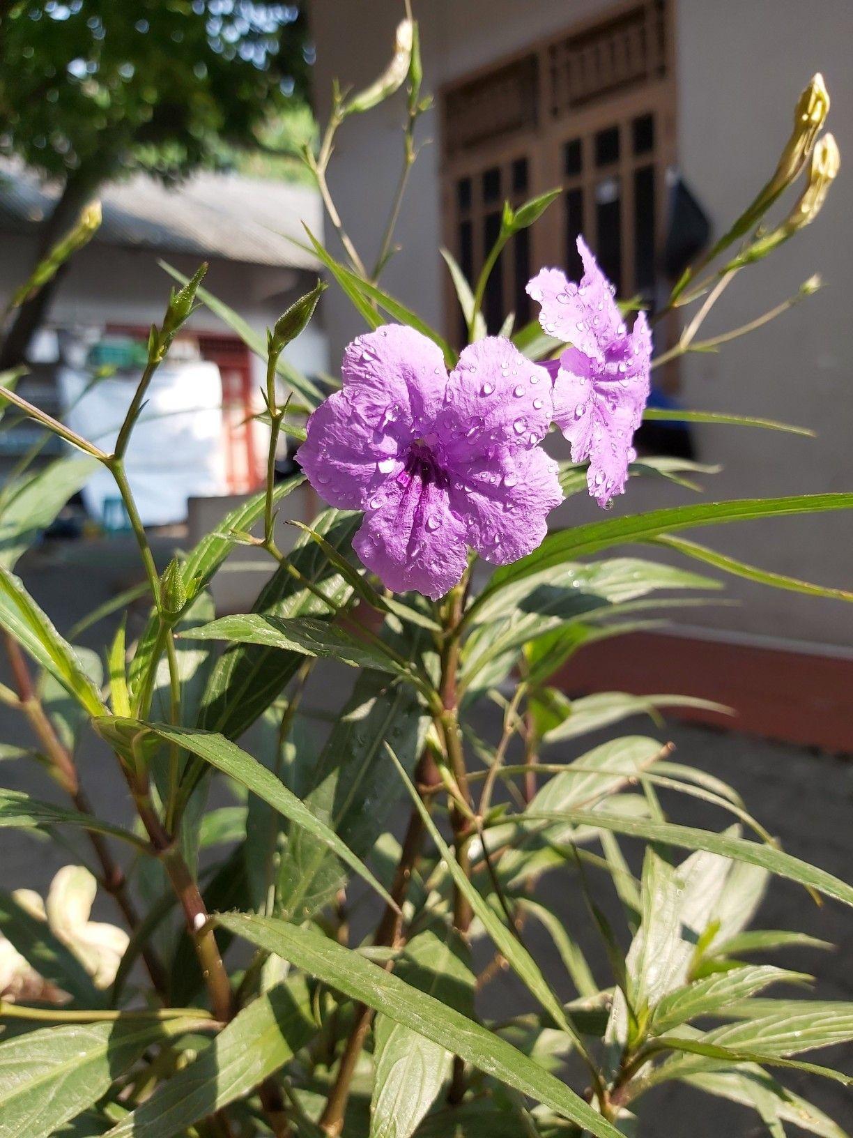 Kencana Ungu Bunga Liar Bunga Tanaman