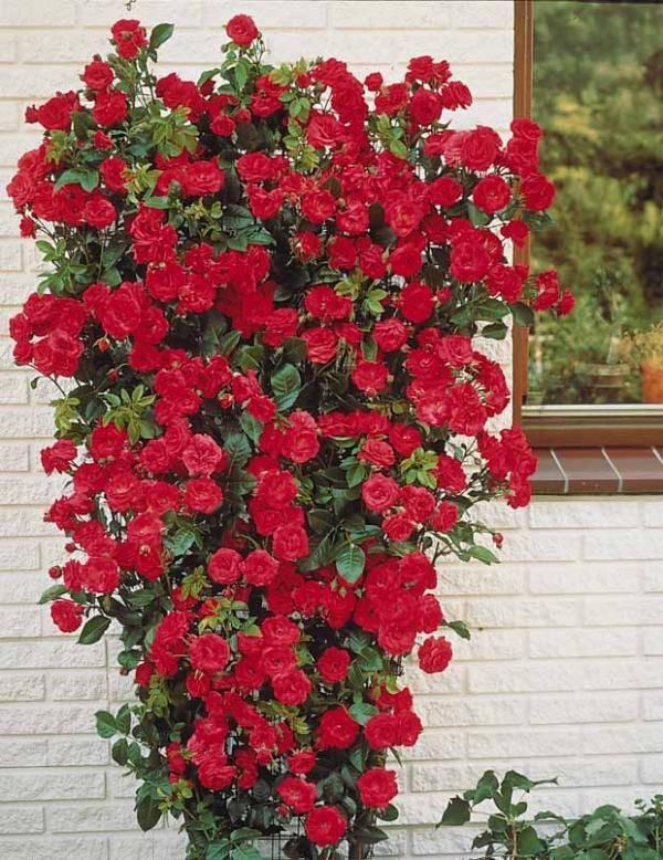 rosier grimpant rouge rose roses du jardin pinterest rosier roses et rouge. Black Bedroom Furniture Sets. Home Design Ideas