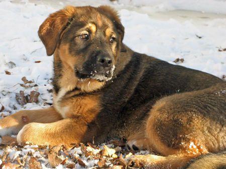 Olive The Saint Bernard Mix Puppy Breed Alaskan Malamute