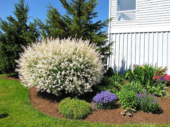 Image Result For Gardens With Dappled Willows Gardening Willow Bush Dappled Willow Weeping Willow