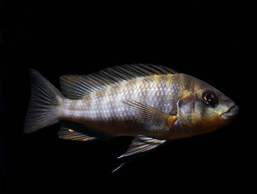 """Картинки по запросу Petrochromis мacrognathus Rainbow """"Namansi"""""""
