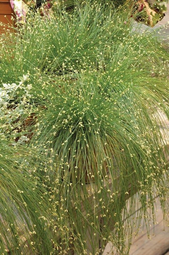 Live wire grass grasses seeds and cap live wire grass garden grasstexas gardeningornamental workwithnaturefo