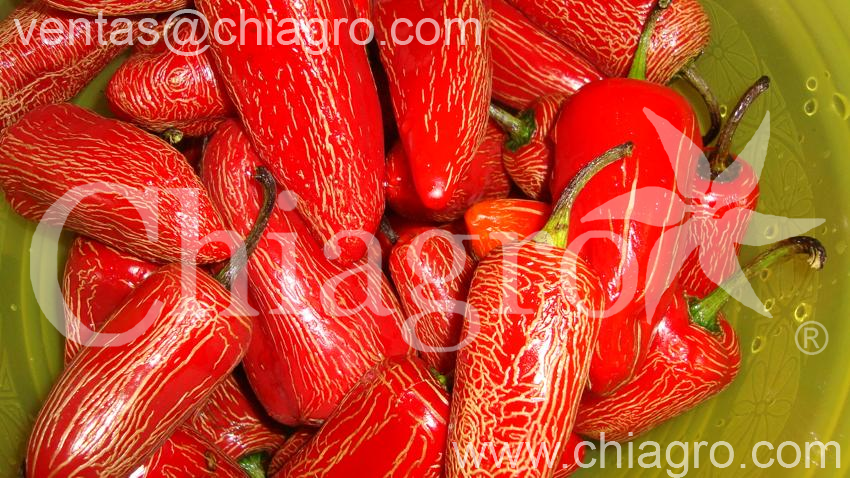 Los mejores ejemplares de chile rayado maduro n tense - Rayas horizontales ...
