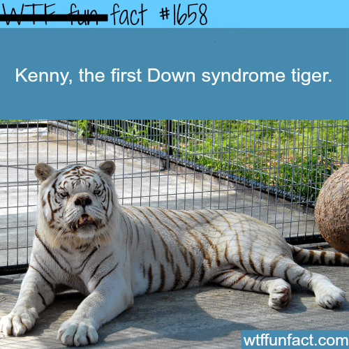 Picture of the first down syndrome tiger WTF fun facts