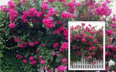 Motto: anderswo...die Rose Laguna