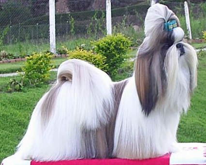 Find Your Perfect Dog Breed The Shih Tzu Is A Little Dog With A