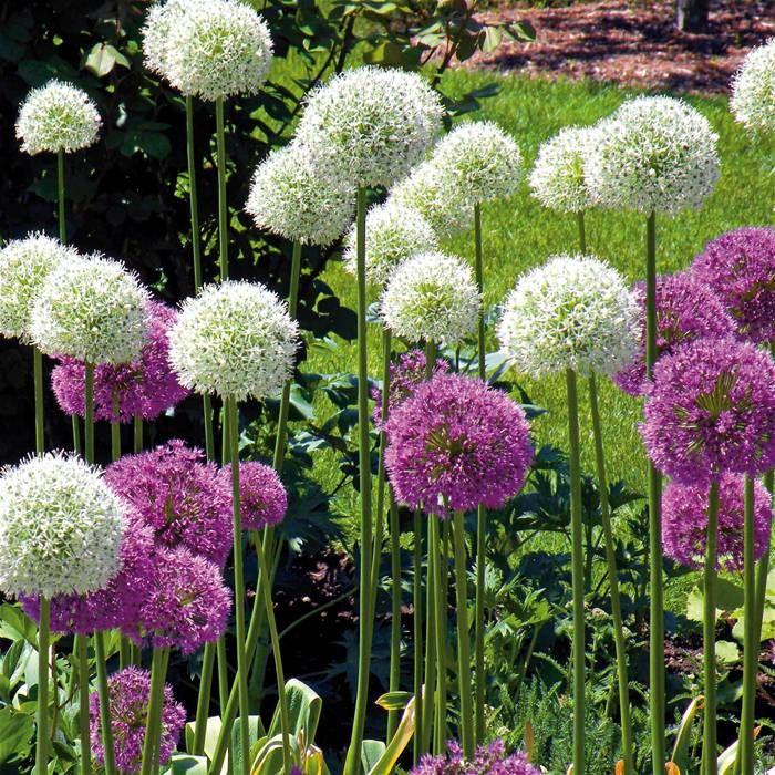 Allium Combo Mount Everest Gladiator 10 Flower Bulbs With