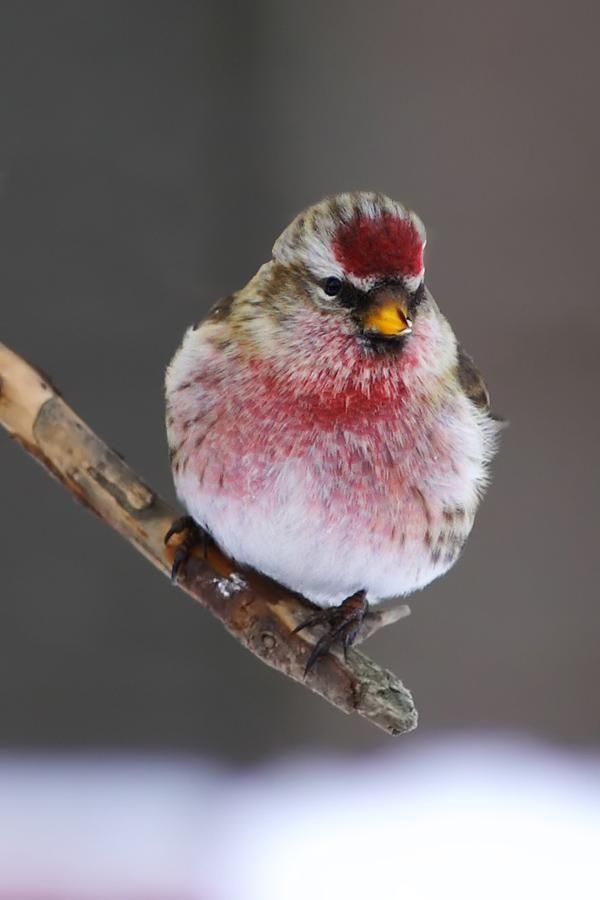 Male Redpoll Dyr Smukke Fugle Billeder