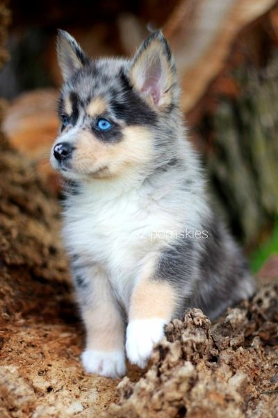 Pomsky puppies - Why This Cute Dog holds Importance pomsky- puppies