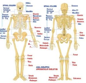 human body bones number   human body   pinterest   human body, Cephalic Vein