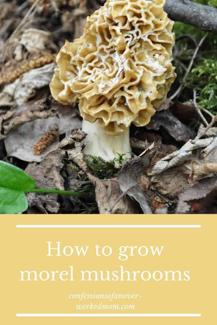 Growing morel mushrooms from spores or a morel kit