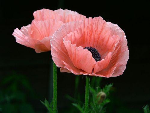 poppy   Flickr - Photo Sharing!