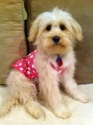 Adopt Shasta On Petfinder Poodle Mix Dogs Maltipoo Maltese Dogs
