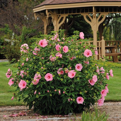 Rose Mallow Pink Elephant Hibiscus 4 5 Tall Blooms July August