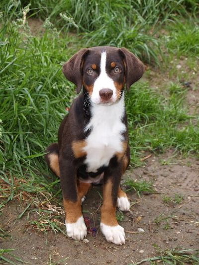 Appenzeller Sennenhund Dog Breeds Beautiful Dogs Mountain Dogs