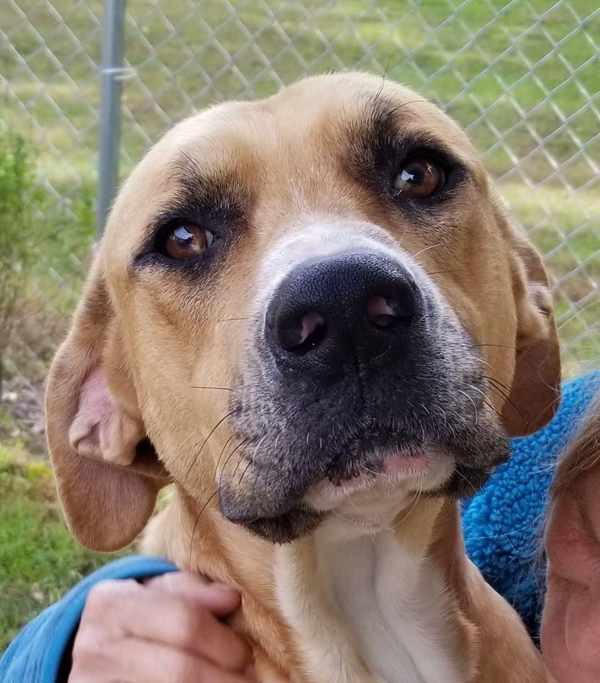 Bert (HW+) safe Pet adoption, Dog adoption, Pitbull