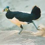 3 Manfaat Burung Maleo Yang Terancam Punah Dan Harus Dilestarikan Burung