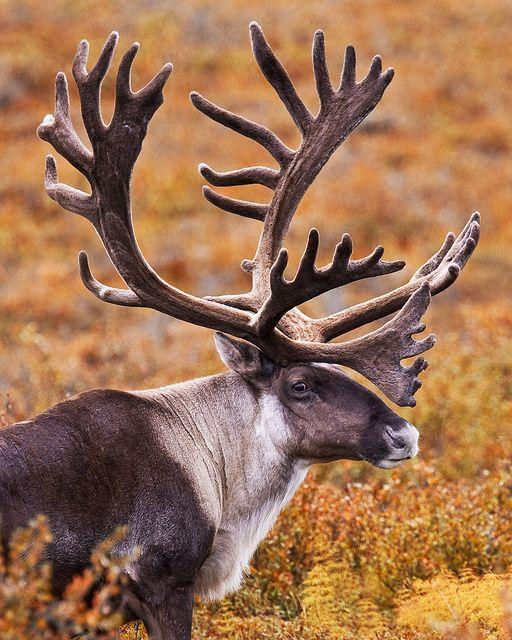 Caribou Alaskan Animal Caribou Hunting Animals Beautiful