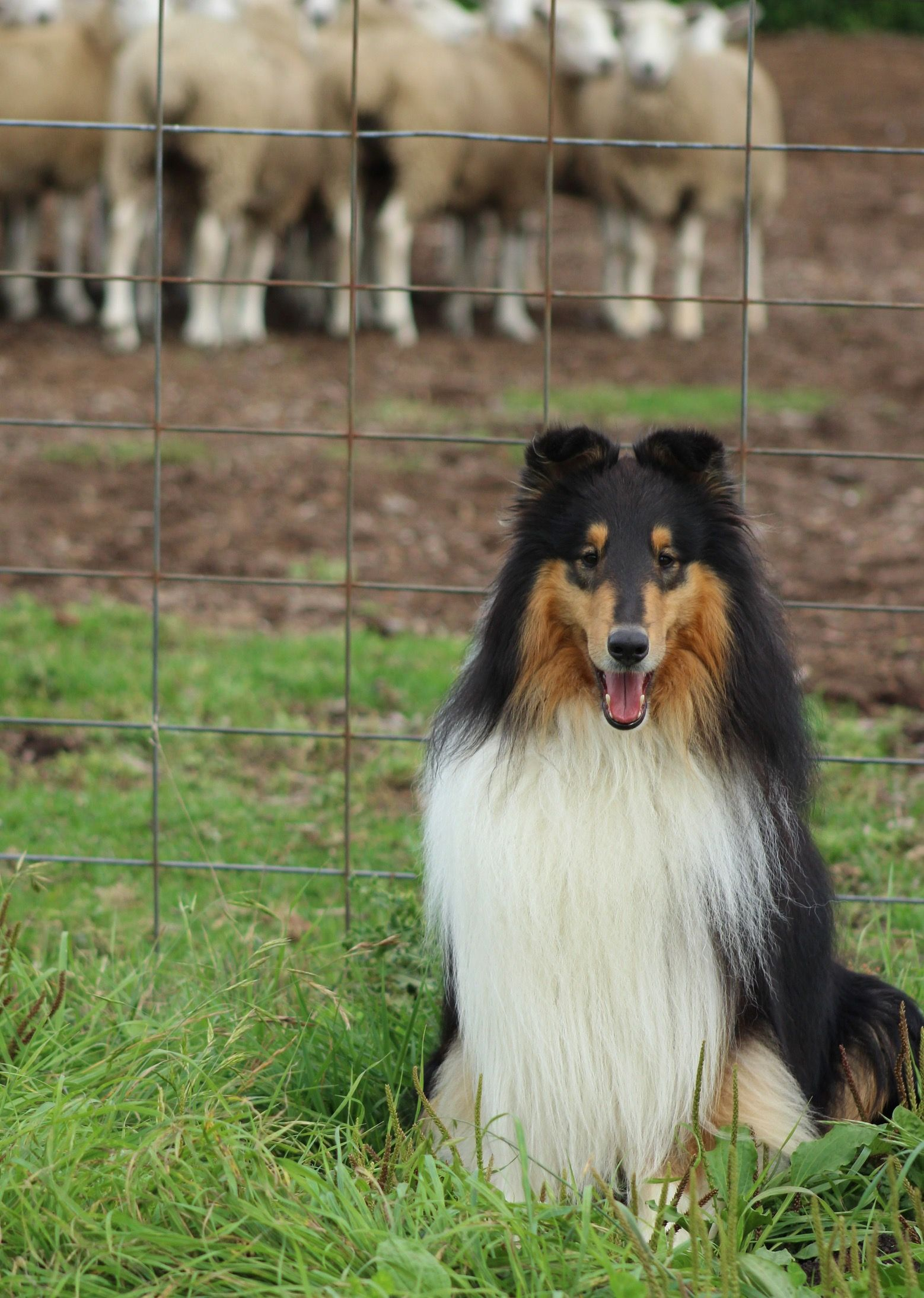 Pin By Gary Webster On Collies Farm Dogs Rough Collie Collie Puppies