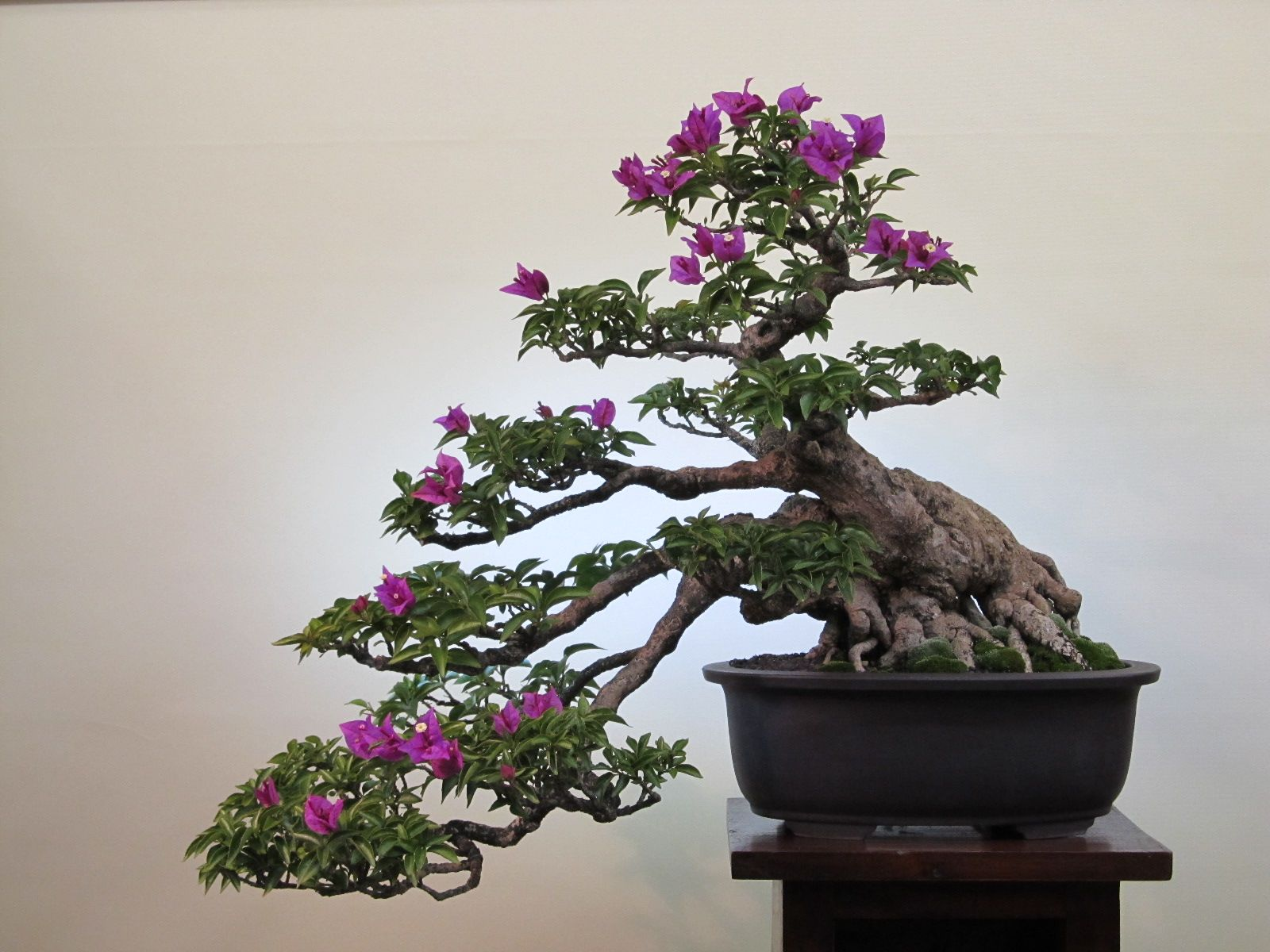 1925 Bougainvillea Re Vision Bonsai Tree Types Bonsai Tree Bonsai Art