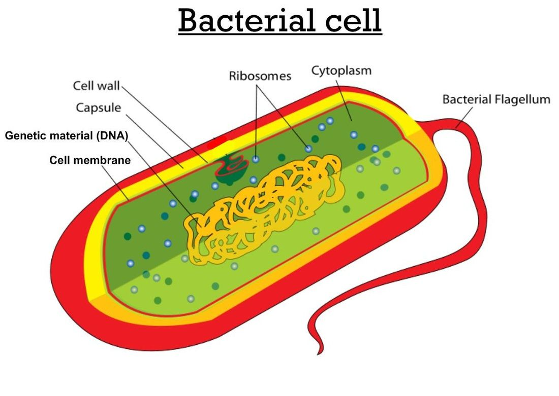 medium resolution of animal cell model diagram project parts structure labeled coloring