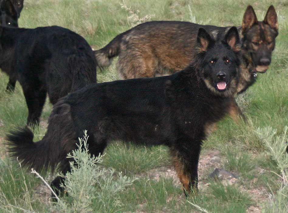 Adults On The Ranch Ddr German Shepherds East German Shepherd
