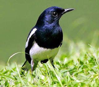 Cara Merawat Kacer Bakalan Tips Agar Rajin Berkicau Burung Seni Suara Hewan