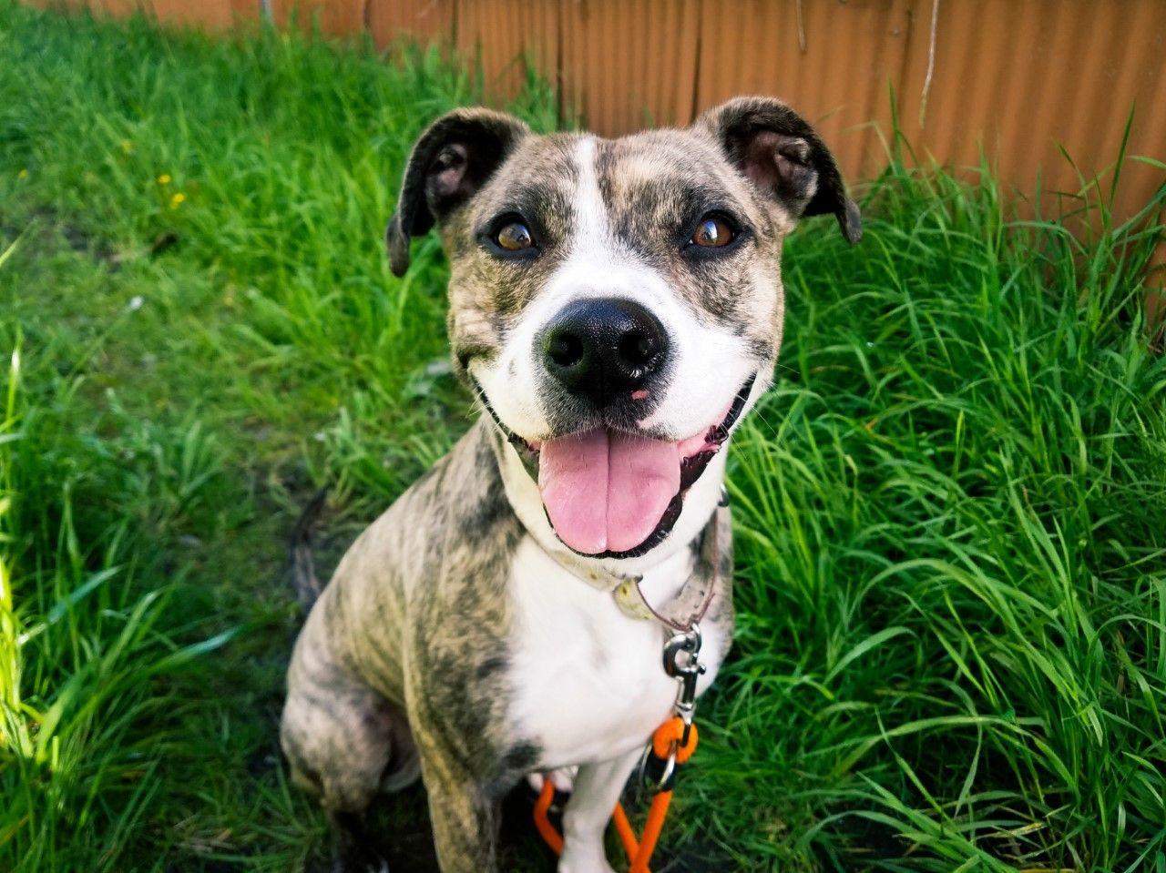 Bogle Dog For Adoption In Seattle Wa Adn 606807 On Puppyfinder